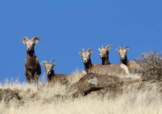 Desert X installation pulled to help out bighorn sheep
